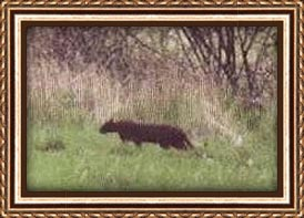 The Exmoor beast captured on camera.
